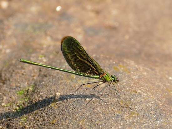 Dragon fly at the Kulen Mountains, Cambodia by hrs