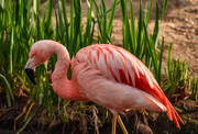 9th Feb 2018 - Flamingo Friday '18 06