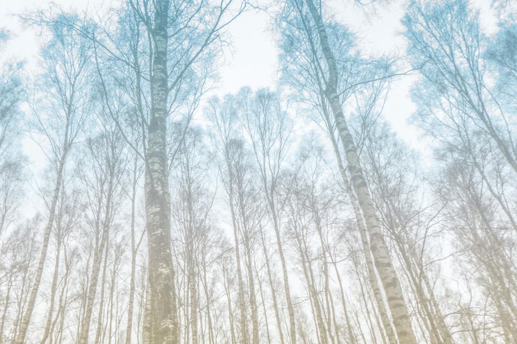 Birch by ingajohansson
