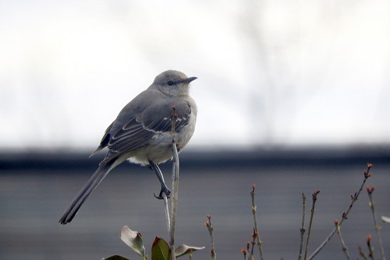 Mockingbird in the morning by homeschoolmom