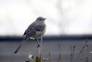14th Feb 2018 - Mockingbird in the morning