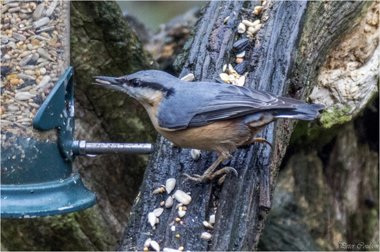 Nuthatch by pcoulson