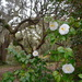 Camellias and live oaks