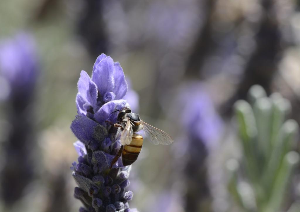 As Busy As A Bee......_DSC7837 by merrelyn