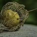 Physalis Carcass