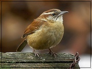 13th Feb 2018 - Carolina Wren