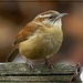 Carolina Wren by olivetreeann