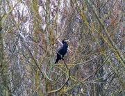 5th Feb 2018 - Cormorant in a Tree