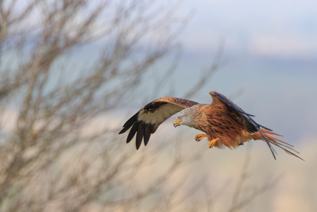 Red Kite thinking those are nice new boots!!! by padlock