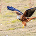 Red Kite making the grab!!!