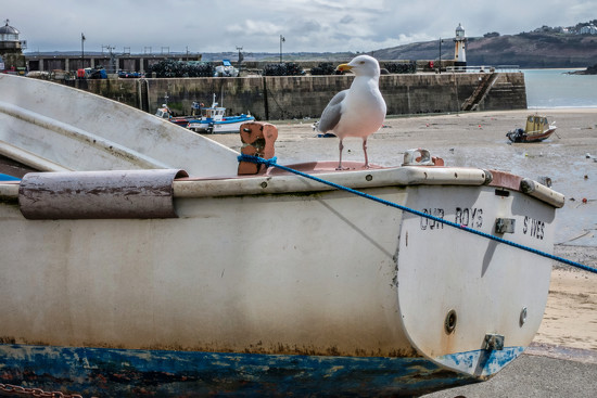 041 - Seagull at St Ives by bob65