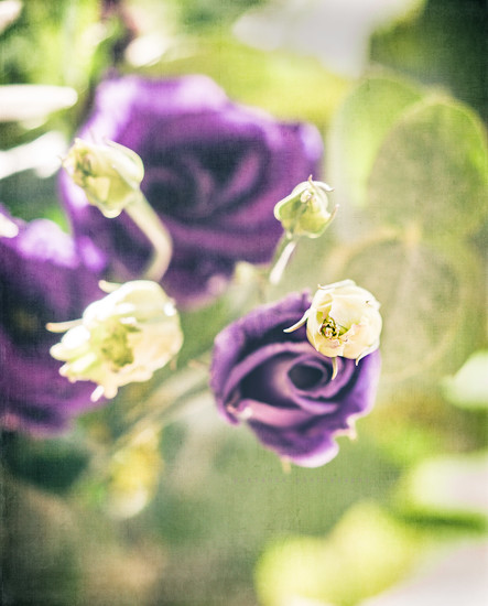 peeping lisianthus  by pistache
