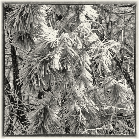 Pines in Ice by milaniet