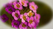 15th Feb 2018 - Macro of Alyssum Flowers!