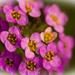 Macro of Alyssum Flowers!