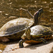 Sunning Turtles!