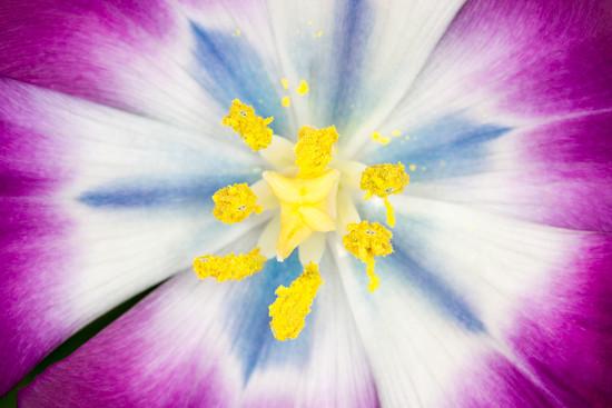 Tulip Macro by humphreyhippo