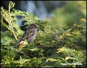 16th Feb 2018 - Female house sparrow