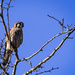 American Kestrel Waiting