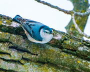16th Feb 2018 - White-breasted Nuthatch on a limb
