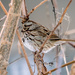 Song Sparrow Wide