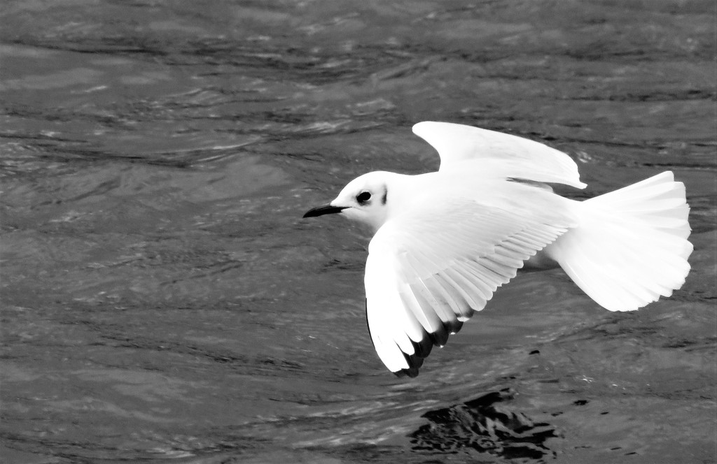 Flash of Gull by phil_sandford
