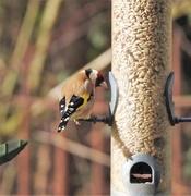 15th Feb 2018 - Finally......A Goldfinch on the Feeder
