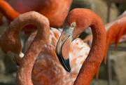 16th Feb 2018 - Flamingo Friday