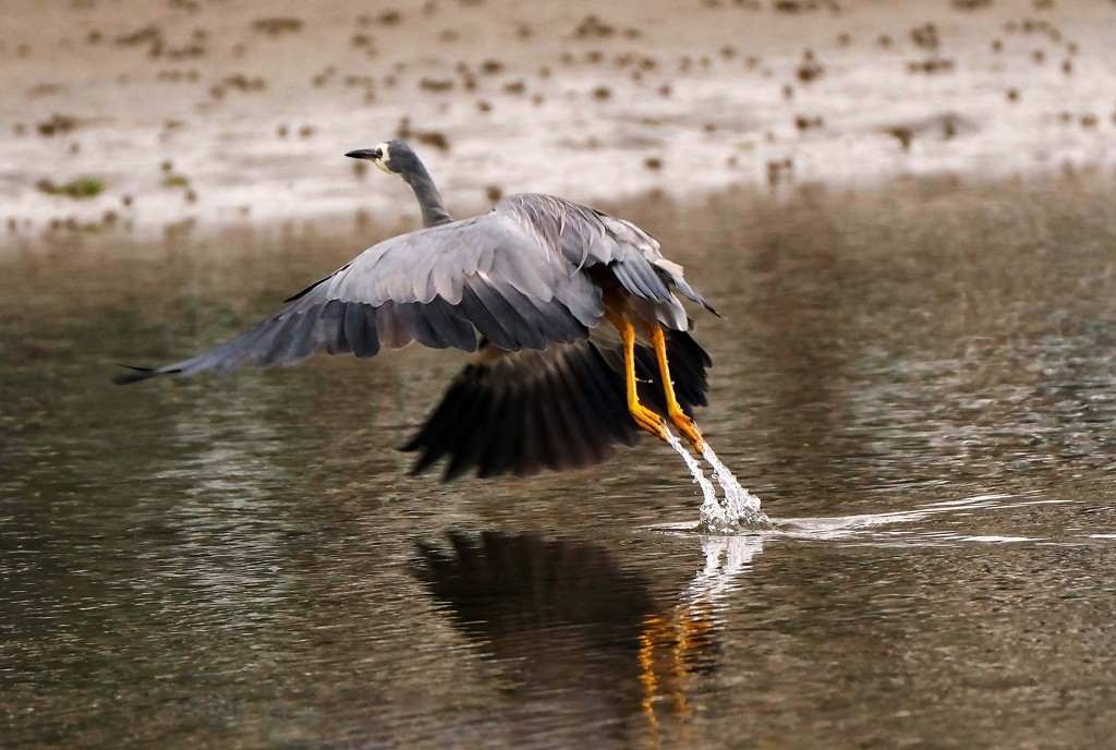 Lift off - white faced heron  by maureenpp