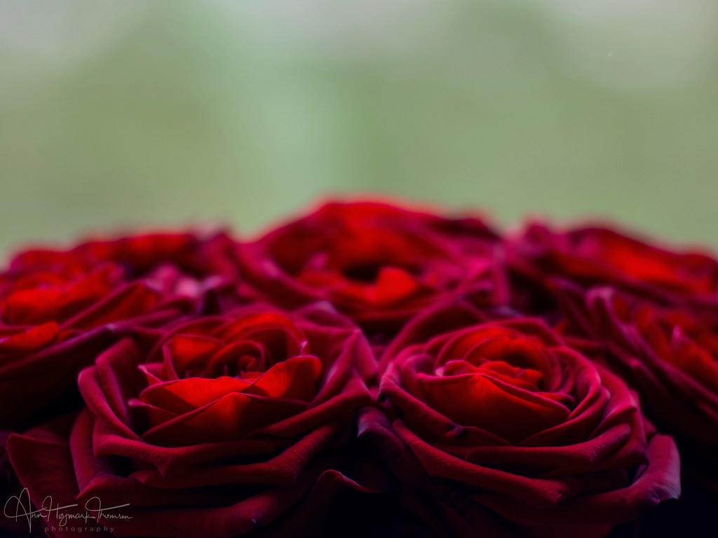 My Valentine... by atchoo