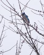 17th Feb 2018 - Blue Jay