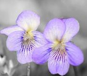 17th Feb 2018 - Viola... Violets
