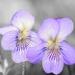 Viola... Violets