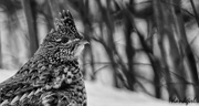 17th Feb 2018 - Ruffed Grouse