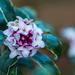 Winter daphne odora