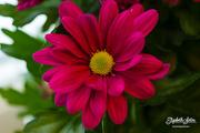 17th Feb 2018 -  Chrysanthemum