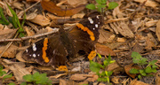 17th Feb 2018 - Red Admiral Butterfly!