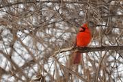 13th Feb 2018 - Cardinal