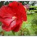 Hibiscus ... Jazzberry Jam...