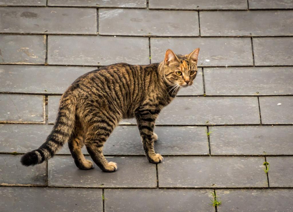 Urban Tiger by swillinbillyflynn