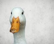 18th Feb 2018 - Mucky Duck