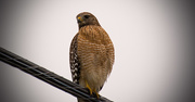 18th Feb 2018 - Red Shouldered Hawk Looking Over His Terriitory!