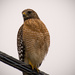 Red Shouldered Hawk Looking Over His Terriitory!
