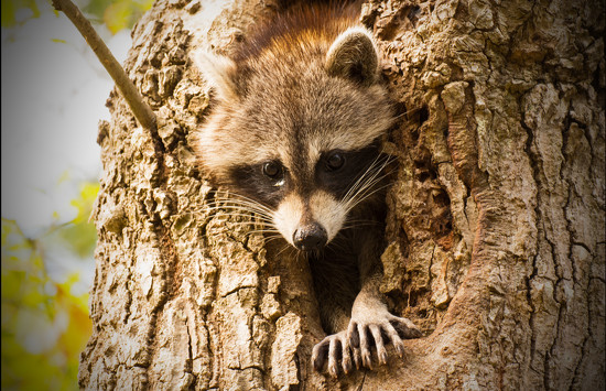 Rocky Raccoon Was Out this Afternoon! by rickster549