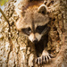Rocky Raccoon Was Out this Afternoon! on 365 Project