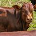 The little Ankole calf....