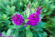 19th Feb 2018 - Purple and green zoom burst