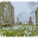 Churchyard Snowdrops by carolmw