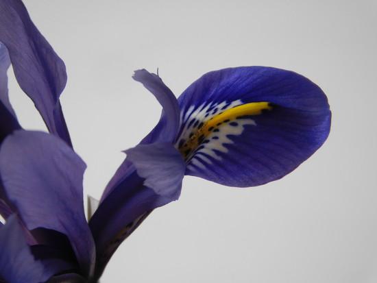 Iris by 365anne