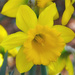 Happy Daffodil